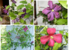 Clematis lidl 2014.png