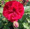 rosa cumberland.jpg