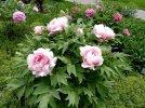 Paeonia-suffruticosa-rosa_MzUwOTU5M1o.JPG