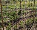 HORTOMALLAS Rete per pomodoro reduce il numero di pali che sarebbero necessari usando rafia.jpg