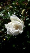 Rosa 03.jpg