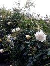 Rosa 06.jpg
