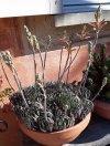 Aloe Aristata 02.jpg