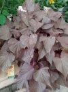 Pianta-foglie-viola.jpg