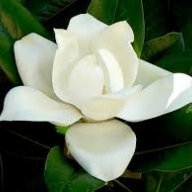 Magnolia60