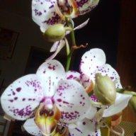 Orchidacaee