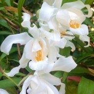 _Orchidea_Rara_