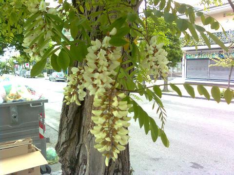 Albero con fiori bianchi simili al glicine forum di for Albero con fiori blu