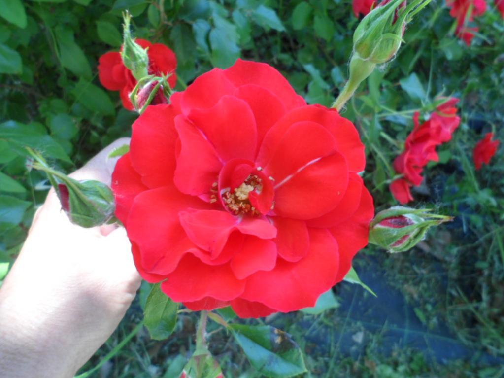 Piante e fiori 178 forum di for Giardinaggio e fiori